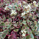 Crassula pellucida subsp. marginalis 'Variegata' (Calico Kitten)