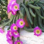 Echinocereus pentalophus (Lady Finger Cactus)