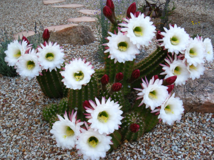 Echinopsis candicans (Argentine Giant)