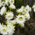 Echinopsis schickendantzii
