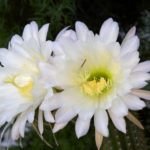 Echinopsis spachiana (Golden Torch)