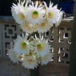 Echinopsis spachiana - Golden Torch