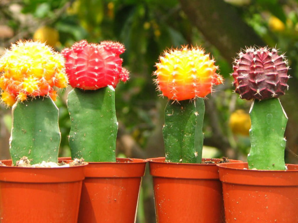 what are grafted cacti?  world of succulents, Natural flower