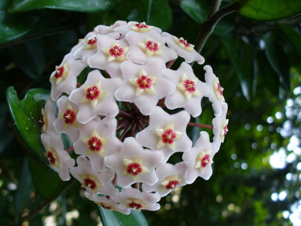 Hoya carnosa Wax Plant