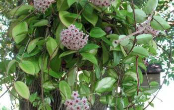 Hoya carnosa (Wax Plant)