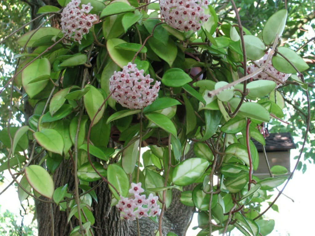 Hoya carnosa - Wax Plant | World of Succulents