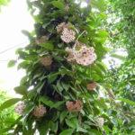 Hoya carnosa - Wax Plant