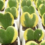 Hoya kerrii 'Variegata' (Sweetheart Hoya)