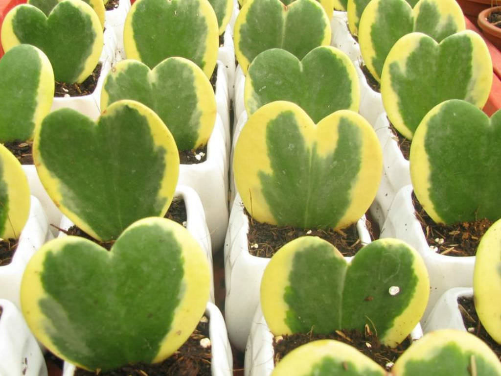 Hoya kerrii variegata sweetheart hoya world of succulents
