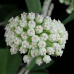 Hoya pachyclada (Wax Plant)