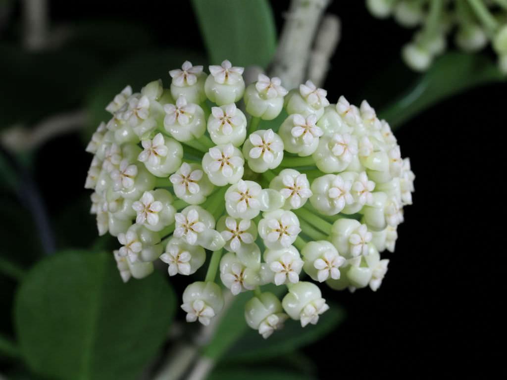 Hoya pachyclada Wax Plant
