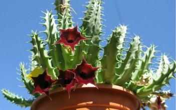 Huernia keniensis - Kenyan Dragon Flower