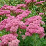 Hylotelephium 'Herbstfreude' aka Sedum 'Herbstfreude', Hylotelephium 'Autumn Joy' or Sedum 'Autumn Joy'