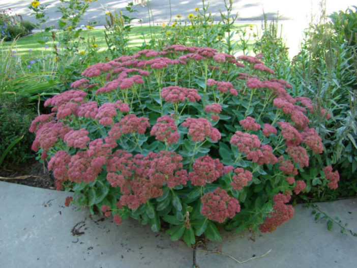 Hylotelephium 'Autumn Joy' (Sedum spectabile 'Autumn Joy')