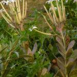 Kalanchoe marmorata - Penwiper Plant