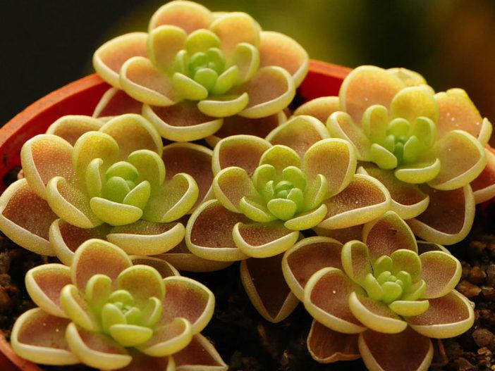 Pinguicula esseriana - Butterwort