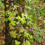 Pinguicula moranensis - Butterwort