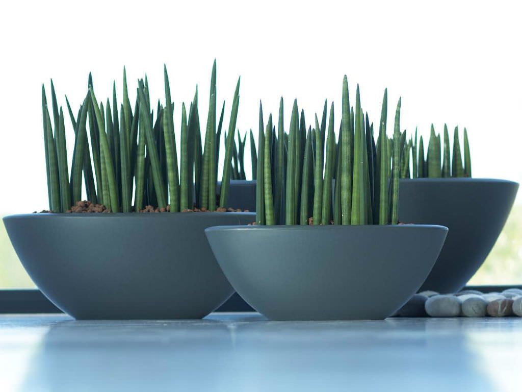 sansevieria cylindrica cylindrical snake plant world of succulents. Black Bedroom Furniture Sets. Home Design Ideas