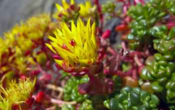 Sedum oreganum - Oregon Stonecrop