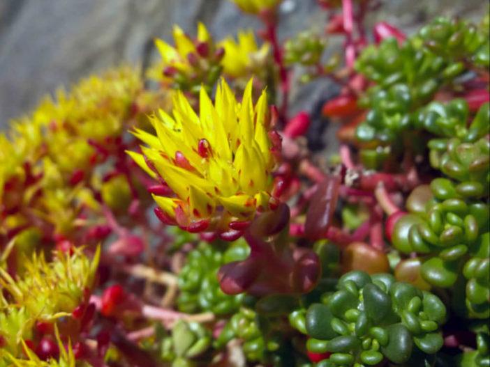 Sedum oreganum (Oregon Stonecrop)