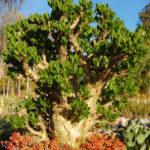 Tylecodon paniculatus - Butter Tree