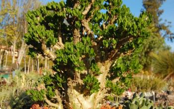 Tylecodon paniculatus (Butter Tree)
