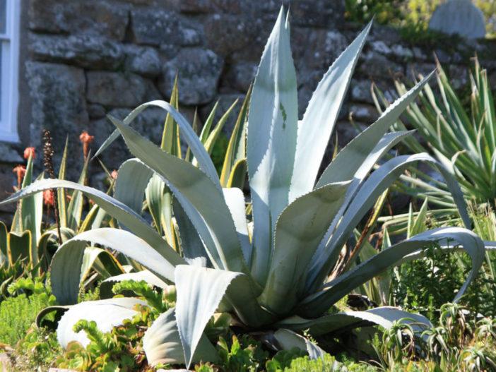 Agave americana - Century Plant
