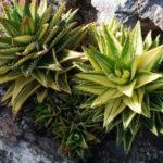 Aloe perfoliata f. variegata - Variegated Mitre Aloe