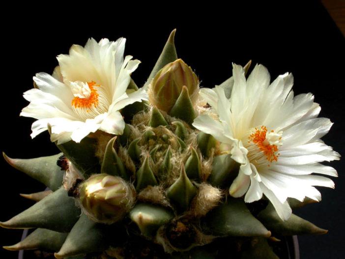 Ariocarpus retusus subsp. trigonus - Star Rock
