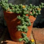 Corpuscularia lehmannii (Ice Plant)