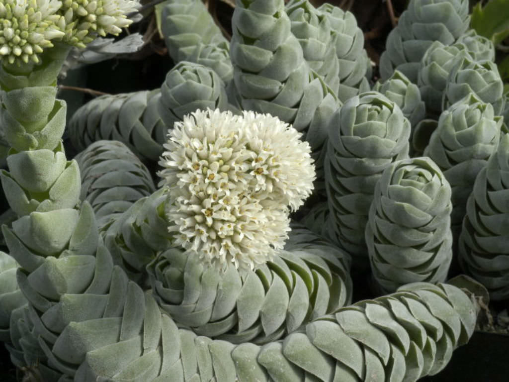 Crassula 'Pangolin' | World of Succulents