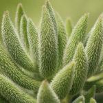Crassula mesembryanthoides aka Crassula mesembryanthemoides