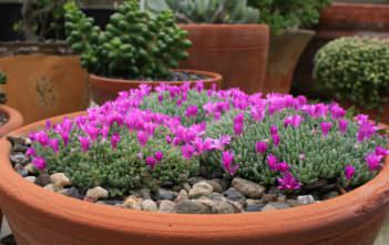 Delosperma sphalmanthoides (Tufted Ice Plant)