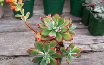 Echeveria pulvinata 'Ruby' (Chenille Plant)