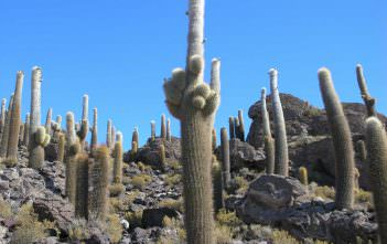 Echinopsis atacamensis subsp. pasacana (Pasacana Tree Cactus)