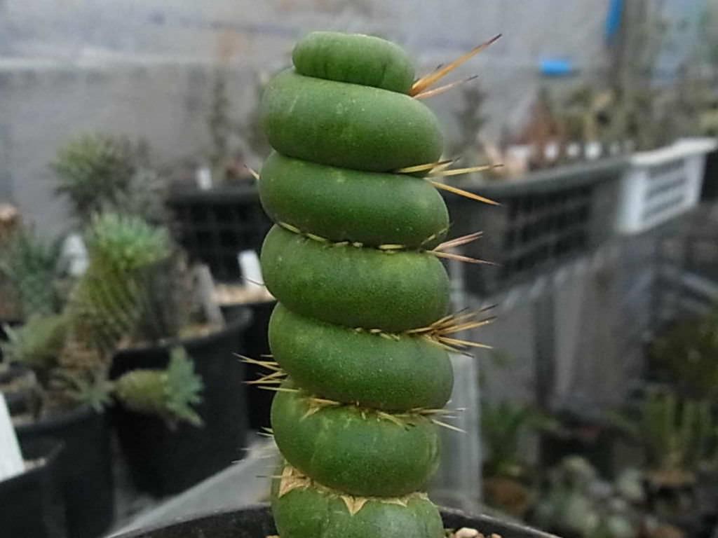 Resultado de imagen de eulychnia castanea spiralis