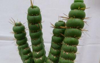 Eulychnia castanea f. varispiralis