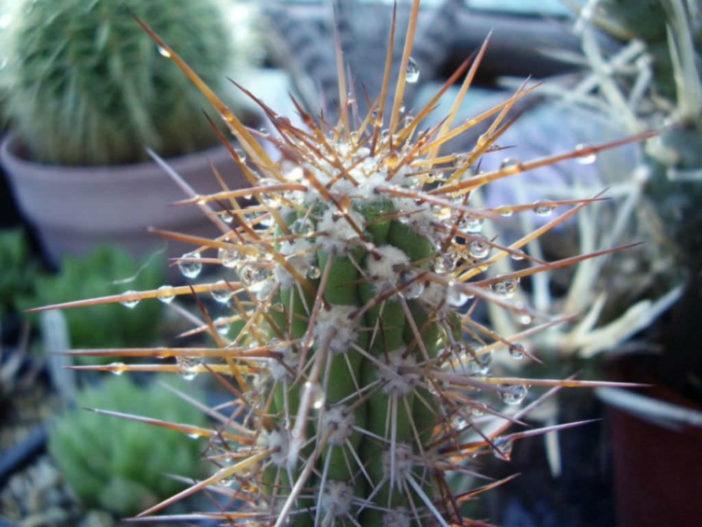 Eulychnia castanea