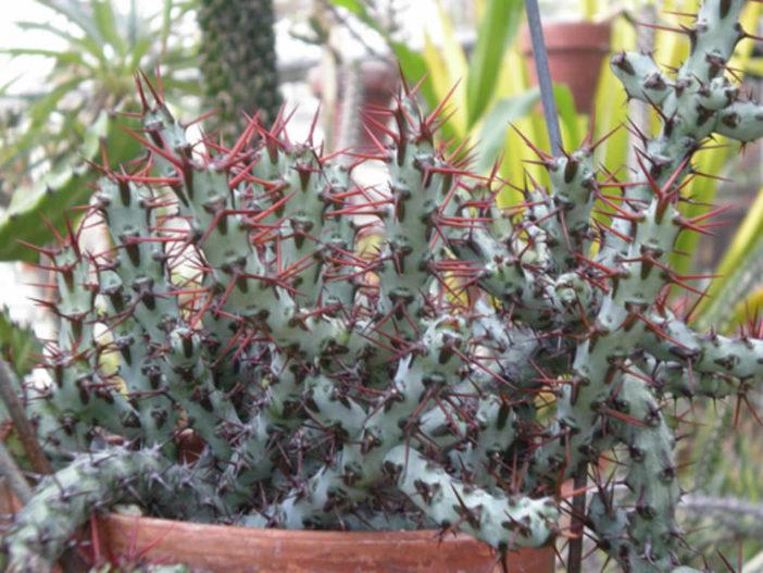 Euphorbia aeruginosa - Miniature Saguaro