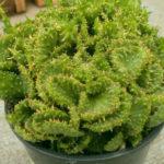 Euphorbia flanaganii f. cristata - Green Coral