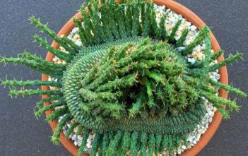 Euphorbia flanaganii f. cristata (Green Coral)