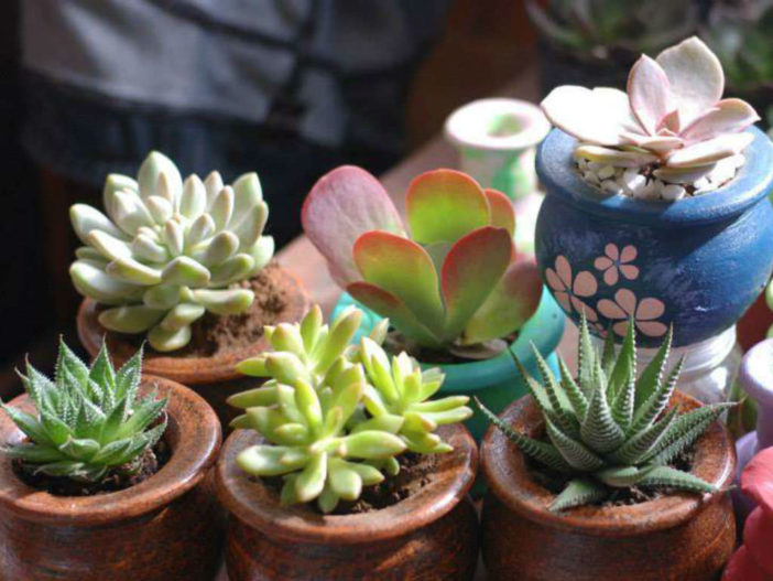 Grow Succulents in Clay Pots