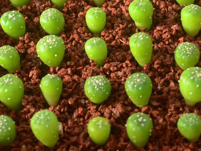 Growing Cacti from Seed