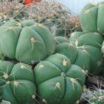 Gymnocalycium horstii (Sider Cactus)