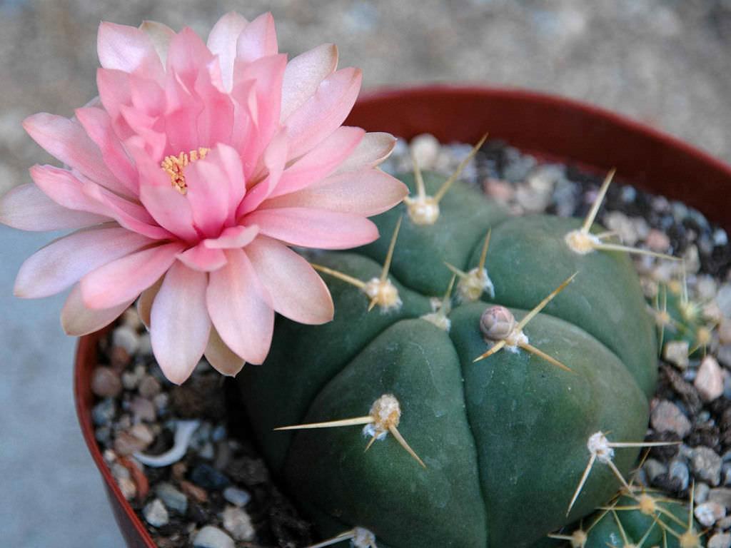 Gymnocalycium horstii sider cactus world of succulents for Cactus variedades