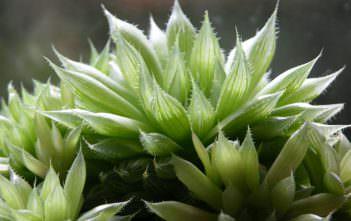 Haworthia cooperi (Cooper's Haworthia)
