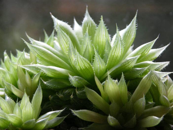 Haworthia cooperi - Cooper's Haworthia