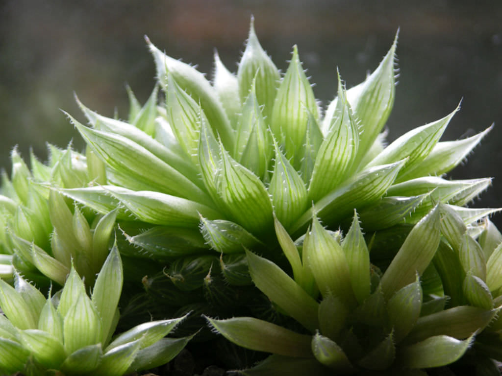 Haworthia cooperi - Cooper's Haworthia | World of Succulents