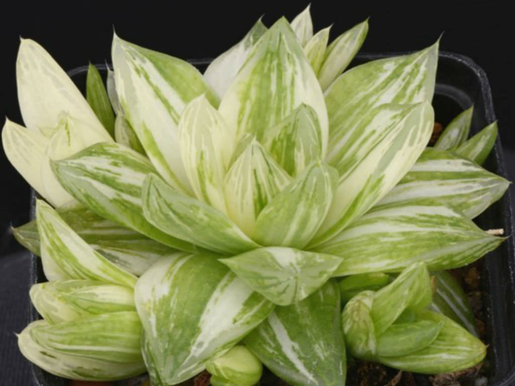 Haworthia cymbiformis f. variegata (Variegated Cathedral Window Haworthia)