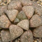 Haworthia emelyae aka Haworthia picta